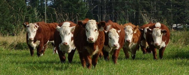2014 weanned heifers cropped